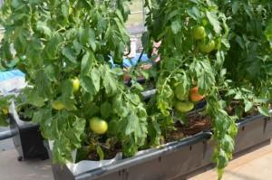 底面潅水トマト