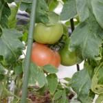 トマト栽培SIMERUS