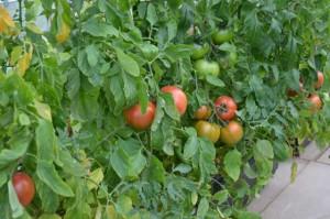 農業用大型プランターによる栽培例 完熟トマト