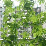 屋上緑化キュウリ緑のカーテン
