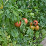 トマト 農業向け大規模栽培例