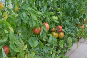 SIMERUS底面潅水トマト①