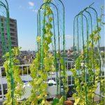 屋上緑化キュウリ