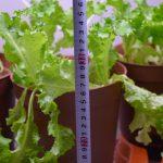 SIMERUS植木鉢レタス生育状況 高さ