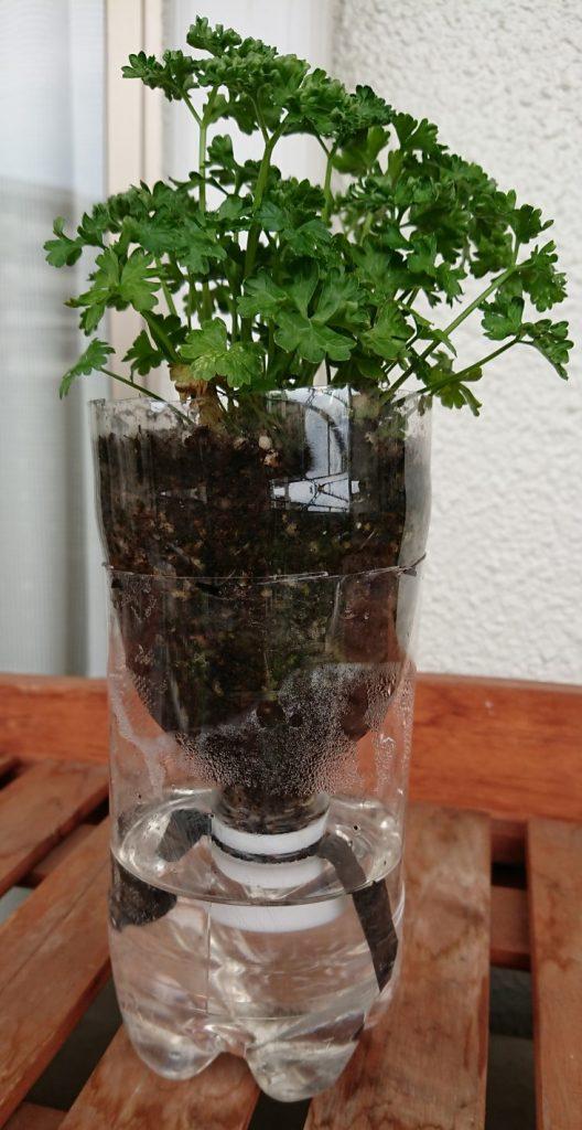 SIMERUS水やりテープPET植木鉢パセリ栽培