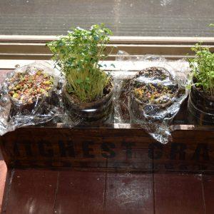 SIMERUS水やりテープペットボトル鉢 スプラウト 窓際栽培