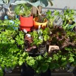 SIMERUS水やりテープ PETボトル鉢 各種栽培