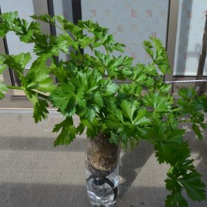 ペットボトル栽培セロリ