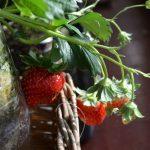 SIMERUS水やりテープペットボトル植木鉢 栽培例 イチゴ
