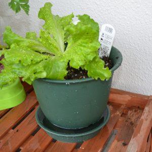底面給水植木鉢 レタス