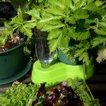楽々底面給水シートの水面設定タイプ セロリ栽培