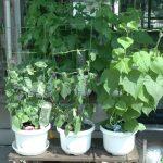 SIMERUS水やりテープ アサガオ栽培例