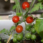 ミニトマト収穫