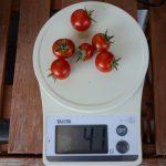 6/8-14日ミニトマト収穫