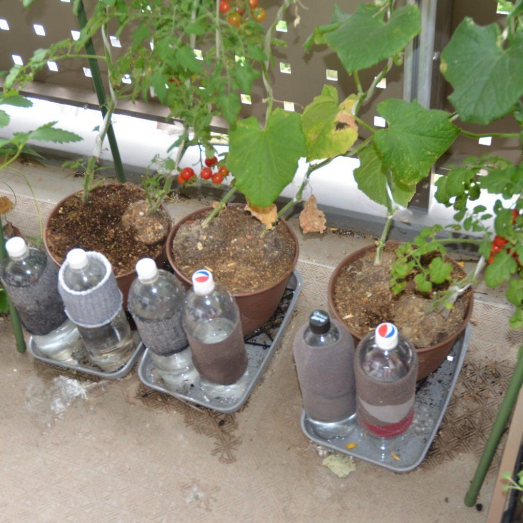 トマト鉢植え植替え