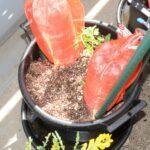 栽培試験 トマト 2021/4/2 定植直後 PET試験区 セット後