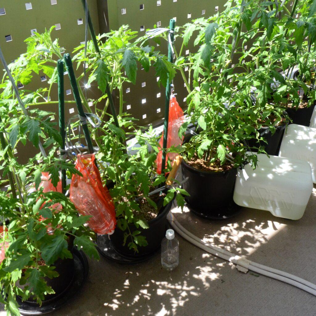 トマト全景202105-22 4/10に定植したトマトの5月下旬における生育状況