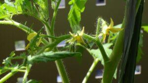 トマトの花 2021年5月