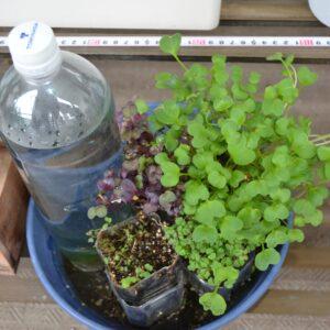 栽培事例 スプラウト 2021/5/20 ラディッシュ PETボトル底面給水