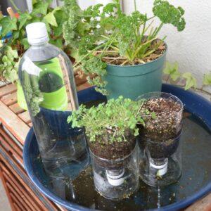 栽培事例 スプラウト・レタス類 2021/5/20 PETボトル底面給水と底面給水鉢