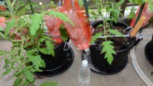 栽培事例 2021/5/22 トマト PETボトル試験区(全2区)