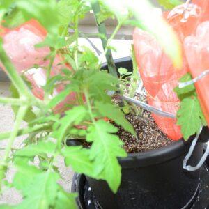 栽培事例 2021/5/22 トマト PETボトル試験区(全2区) クローズアップ