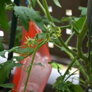 栽培事例 2021/5/22 トマトの花