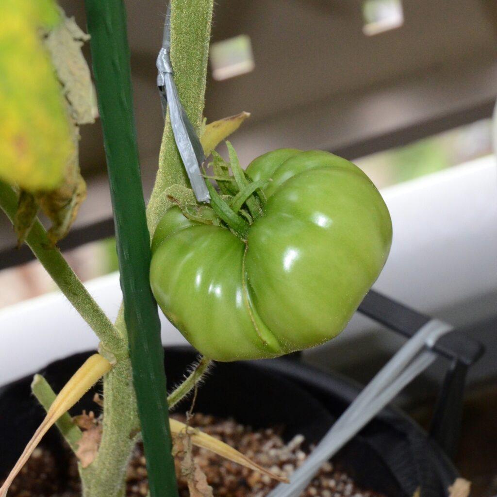 楽々底面給水シート2021トマト栽培