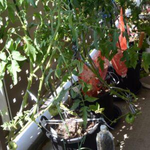 夏至の日照植木鉢ベランダ端